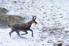 Adult chamois on snow field Stock Images