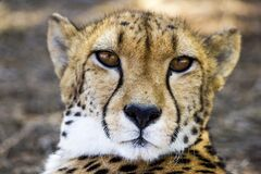Adult Cheetah Stock Image