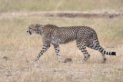 Adult cheetah Stock Photos