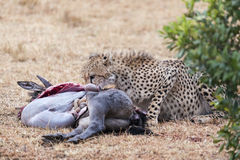 Adult cheetah feasting on antelope kill. Adult cheetah  feasting on bloody kill, Masai Mara National Reserve, Kenya, East Africa Stock Images