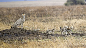 Adult Cheetah with four cubs sitting on a mound. Sideview of an adult Cheetah sitting on a mound with four cubs in the Serengeti National Park, Tanzania Stock Photo