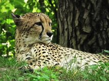 Adult cheetah in grass Royalty Free Stock Images