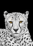 Adult Cheetah Looking at the Camera Royalty Free Stock Photos