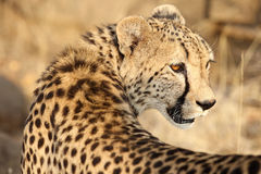 Adult Cheetah looking over shoulder Royalty Free Stock Image