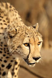Adult Cheetah looking straight ahed Stock Image