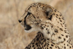 Adult Cheetah looking to the left Stock Image