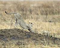 Adult Cheetah with one cub stretching on a mound Royalty Free Stock Images