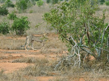Adult cheetah in savannah stock photos