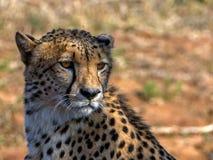 Adult cheetah. Cheetah seen in the Amakhosi game park in kwazuluNatal, South Africa Royalty Free Stock Image