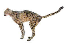 Adult cheetah. Side view Isolated over white background standing  cheetah Royalty Free Stock Image