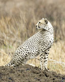 Adult Cheetah sitting on a mound looking behind. Sideview of an adult Cheetah sitting on a mound looking behind in the Serengeti National Park, Tanzania Royalty Free Stock Images