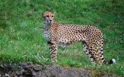 Adult Cheetah Stock Images