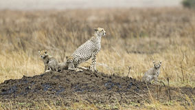 Adult Cheetah with three cubs sitting on a mound. Sideview of an adult Cheetah sitting on a mound with three cubs in the Serengeti National Park, Tanzania Royalty Free Stock Photography