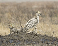 Adult Cheetah with two cubs sitting on a mound. Sideview of an adult Cheetah sitting on a mound with two cubs in the Serengeti National Park, Tanzania Stock Photography
