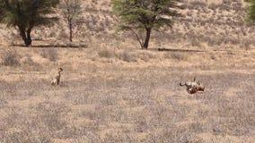Adult cheetah watching cubs feeding stock video