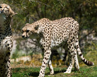 Adult cheetahs Stock Photography