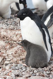 Adult and chick Adélie penguin. In the nest Royalty Free Stock Image