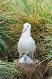 Adult and chick black browed albatross Stock Photos