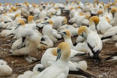 Adult and chick gannets at Cape kidnappers, New Zealand royalty free stock image