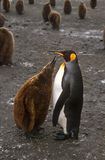 Adult and Chick Penguins, South Georgia. Oakum Boy (nickname for young king penguin chick) looking for food from its parent on the island of South Georgia in the Stock Photo