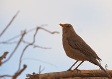 An adult Chiguanco Thrush Royalty Free Stock Image