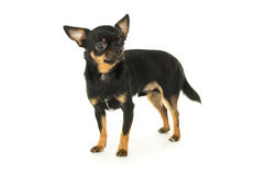 Adult chihuahua dog standing isolated Stock Photo