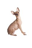Adult chihuahua Stock Photography