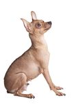 Adult chihuahua Royalty Free Stock Image