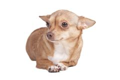 Adult chihuahua Royalty Free Stock Photos