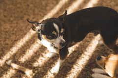 Adult chihuahua standing on carpet Stock Images