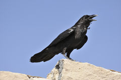 Adult Chihuahuan raven. Sitting on rock, north eastern Arizona. White down on base of neck feathers is showing slightly, a distinguishing feature of this type Stock Photography