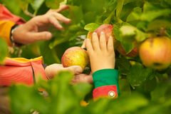 Hands Picking Apples from Tree Stock Image