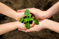 Adult and child are holding in hands seedling stock photography
