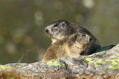 Adult and child marmot Stock Images