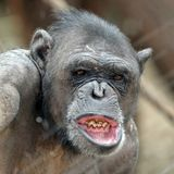 Adult Chimpanzee portrait. Adult Chimpanzee with open mouth portrait stock photography