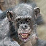 Adult Chimpanzee portrait. An Adult Chimpanzee is showing her teeth stock images