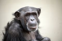 Adult Chimpanzee portrait stock photo