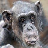 Adult Chimpanzee portrait royalty free stock photos