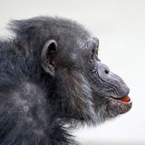 Adult Chimpanzee portrait. An female Chimpanzee with a tomato in her mouth stock photos