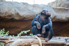 Adult chimpanzee sitting on tree trunk, Loro Parque zoo, Tenerife, Spain Stock Image