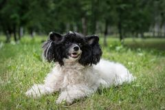 Chinese crested lying in the Park on the background of trees and grass. An adult Chinese crested is lying in the Park in the open air in summer in warm weather royalty free stock images