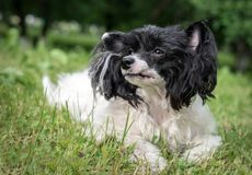 Chinese crested lying in the Park on the background of trees and grass. An adult Chinese crested is lying in the Park in the open air in summer in warm weather royalty free stock image