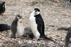 Adult chinstrap penguin with fledgling stock image