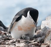 Adult Chinstrap Penguin with newly hatched chick, Antarctic Peninsula stock images