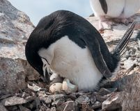 Free Adult Chinstrap Penguin With Chick And Hatching Egg, Antarctic Peninsula Stock Image - 127653991