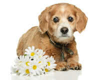Adult Cockapoo Dog. An old adult Cockapoo dog is lying down with some fake daisies, isolated on a white background Stock Images
