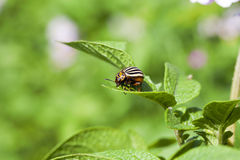 Adult Colorado potato beetle Royalty Free Stock Images