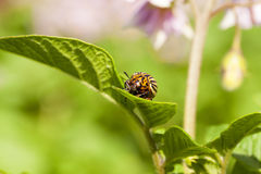 Adult Colorado potato beetle Royalty Free Stock Image