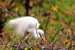 Adult common egret bird in breeding plumage Stock Images