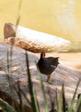 Adult Common gallinule Gallinula galeata Royalty Free Stock Photos